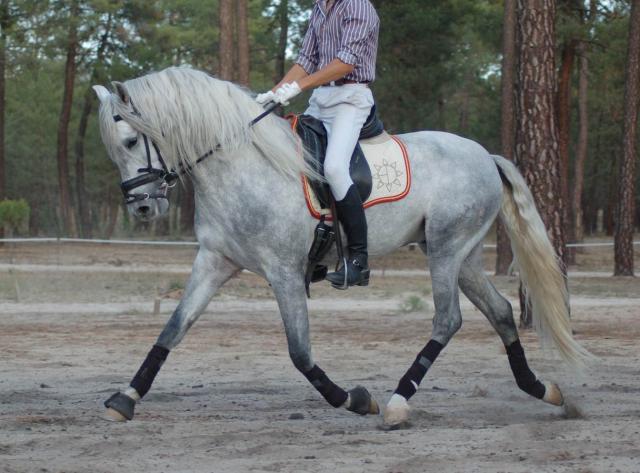 PRE Pura Raza Española En venta 2008 Blanco por HUNGARO XXX