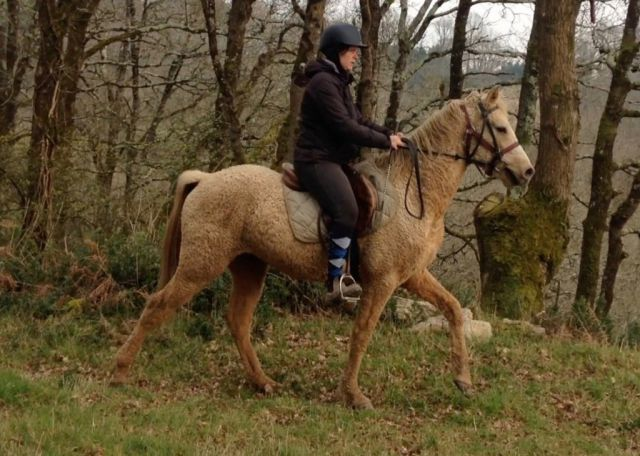 Etalon CURLY gaited HYPOALLERGENIQUE