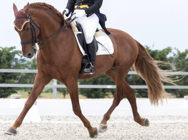 Magifique cheval âgé de 11 ans