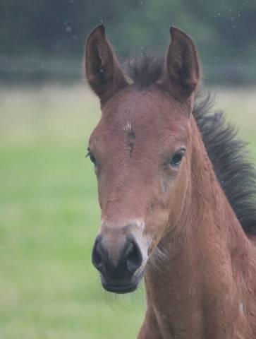 Pouliche 2020 Welsh Part-bred poney x cheval