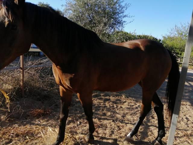 Cheval de Selle Italien A vendre 2012 Bai brun par diarado