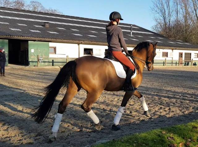 Cheval de Dressage PSG / Small Tour