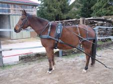 Harnais cuir ideal equestrian taille cob