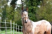 Un poney pour le trec et l endurance