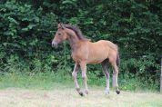 Foal femelle PFS, Hotawane de la Régence
