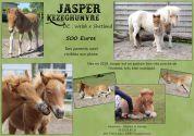 Jasper : Shetland x Welsh