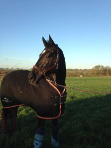 ELO Beautiful Black KWPN Show Jumping Mare