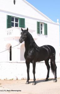 Solitari tb : etalon pure race minorquine propose saillie iac