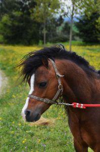 Selim des moreaux : saillie: magnifique poney welsh a