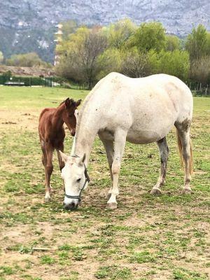Elevage des chevaux lusitaniens, ibériques, portugais