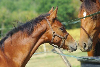 French Saddle Pony For sale 2017 Bay