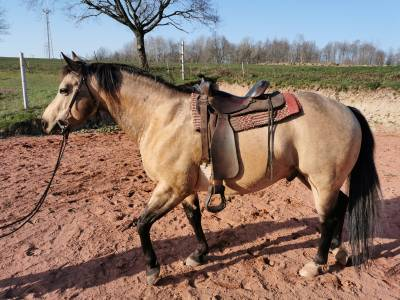 Saillie Etalon Quarter Horse Fondation