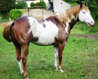Vicazo ken bonanza : saillie par paint horse sorrel/overo