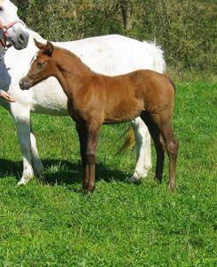 Poulain  avec du potentiel , futur bon poney de sport