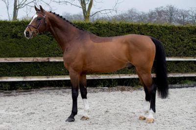 Cooper van de Heffinck - Holst - Bai - 168cm