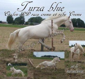 TURZA BLUE étalon PP race crème propose saillie
