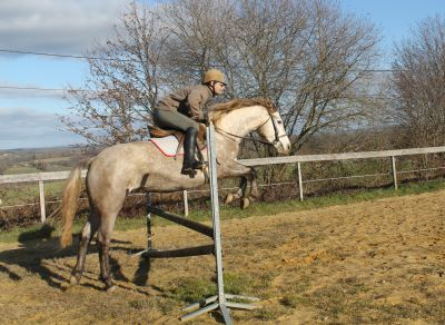 Connemara For sale 2015 Grey by Paps Late