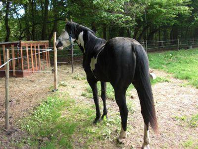 Poco : saillie paint horse overo