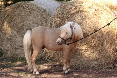 Poney type shetland