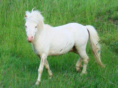 Nebel : saillie bel étalon, classic pony, robe cremello, 93cm