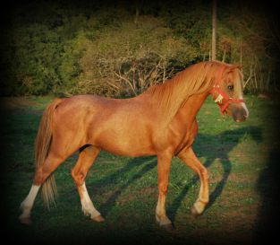 Saillie Arakan D'Alfabel  Welsh B