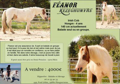 Irish cob pp : féanor