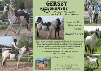 Gersey : paint horse x irish cob