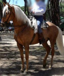 Burlon : magnifique cheval lusitanien super mental