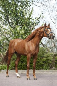 Other Pony Breed For sale 2012 Chesnut