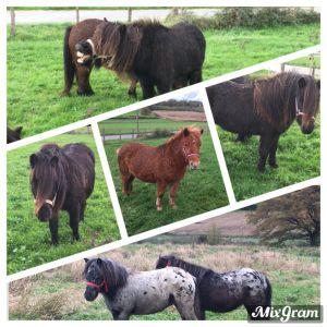 Shetland et poney B