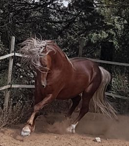 "étalon Welsh cob "" Fantasio du Chapel """