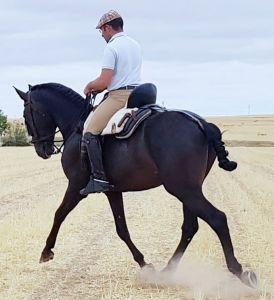 Duende pre, 6 ans, 1.60  très bon cheval à la vaquera