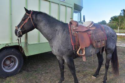 SAILLIE QUARTER HORSE BLEU ROAN 100% NFQHA