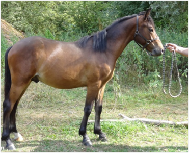 Poney New Forest à vendre