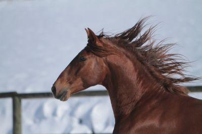 Magnifique étalon Pure Race Espagnole Alezan Cuivré