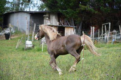 Saillie poney