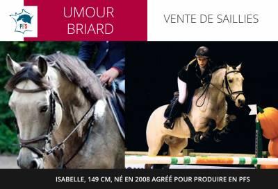 UMOUR BRIARD - Etalon isabelle, 149cm, 2008 agréé PFS