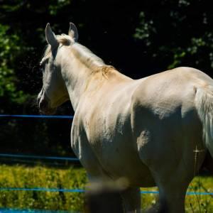 Ashwoodchampagne MGR - Quarter Horse 2011
