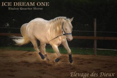 Ice dream one  : ice dream one etalon quarter horse de robe crème