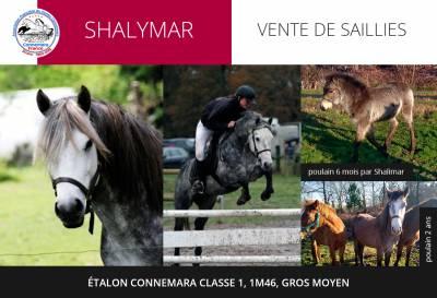Shalymar - Etalon Connemara classe 1, 1m46, gros moyen