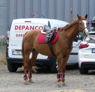 Cheval de sang belge Hongre 16 ans à vendre