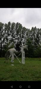 PRE Pure Spanish Bred For sale 2006 Grey