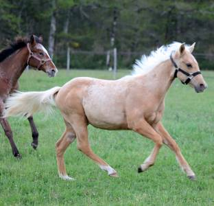 Cb shine chic gun pouliche quarter horse reining 2020
