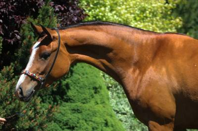 Purepolish arabian mare wagram**** endurance pedigree