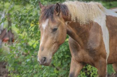 Hongre curly isabelle brown tobiano