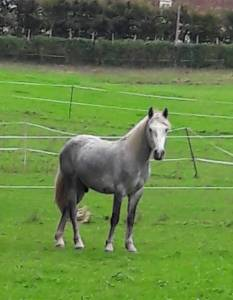 Connemara pp 2 ans hongre