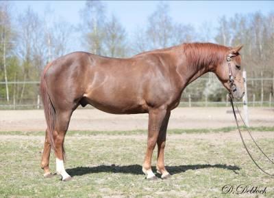 Quarter horse pour loisir