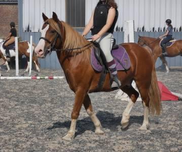 Super poney welsh cob