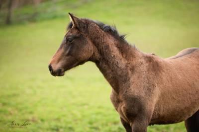 Pouliche foal sf k'ar'nagh (canturo - casco)