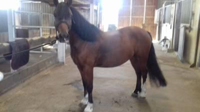 poney welsh